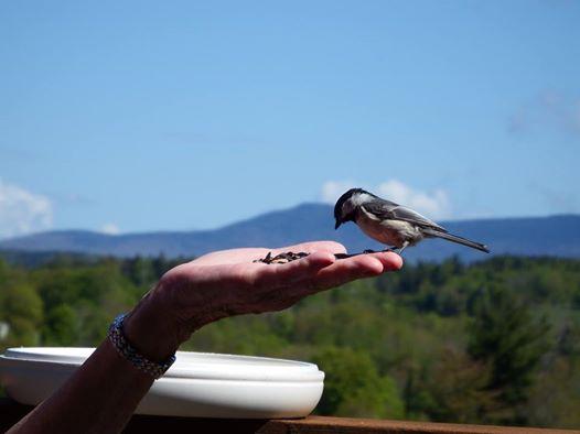 Friendly chickadee