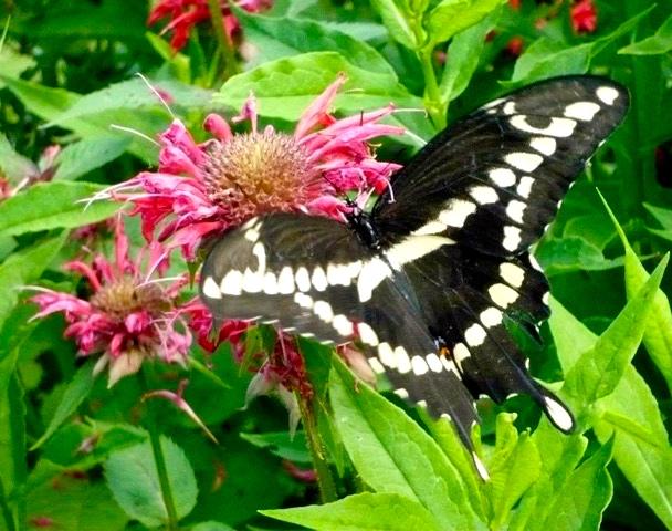 Black swallowtail at work