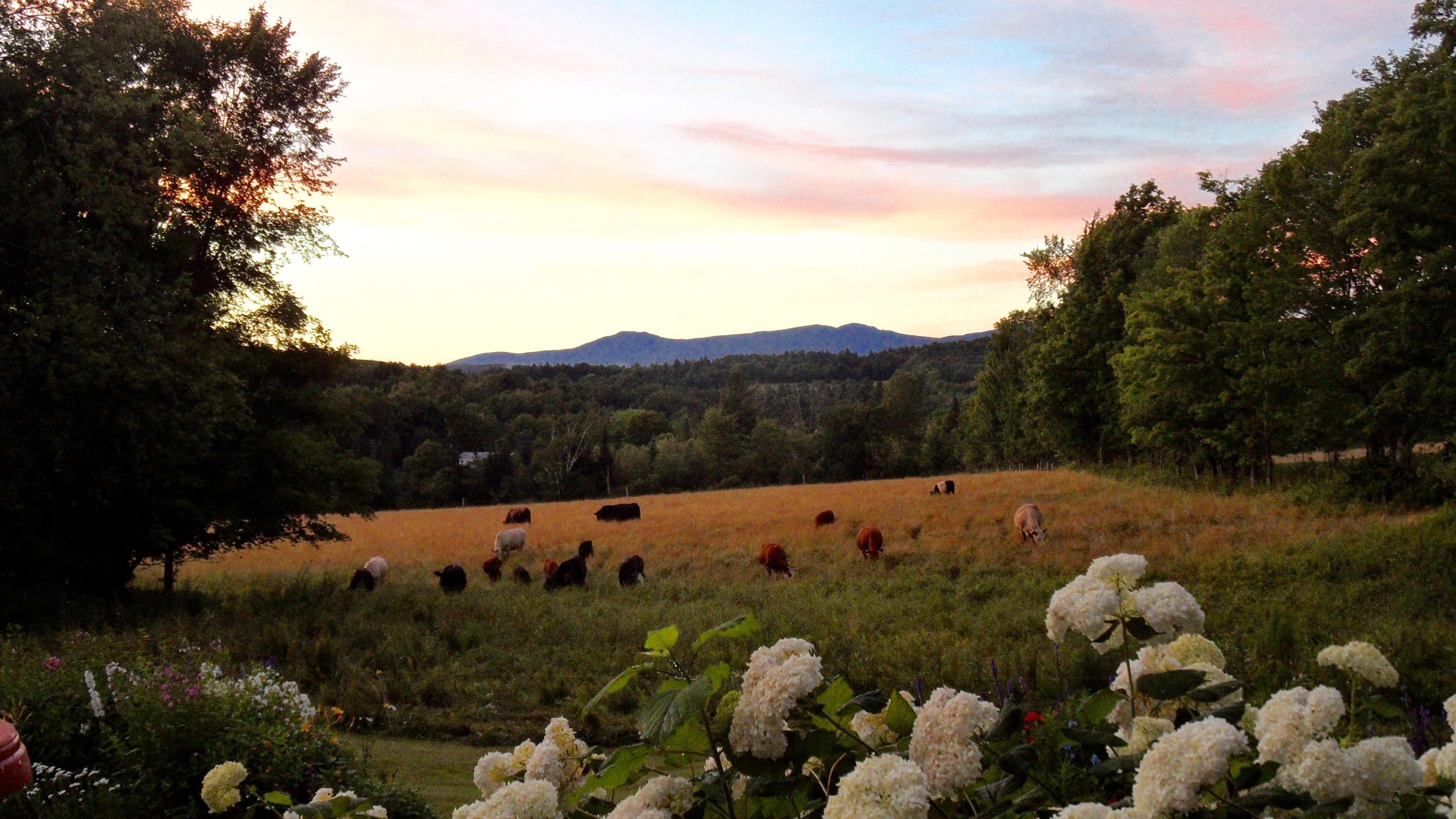Evening herd