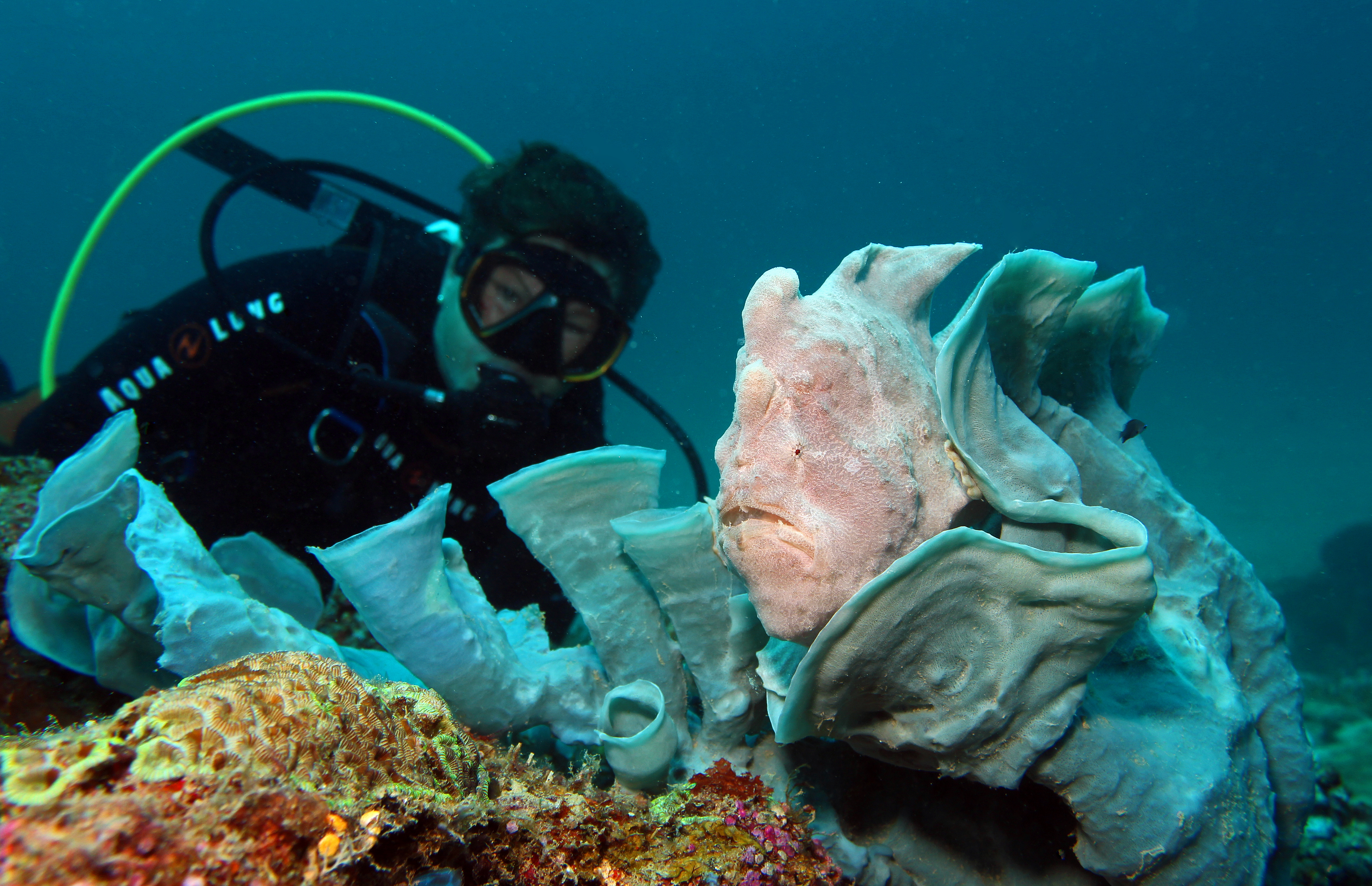 Diver and Giant Frogfish