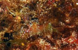 Marbled Shrimp