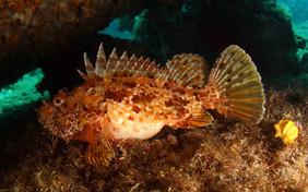 Scorpaena scrofa, Largescaled Scorponfish, Meersau.