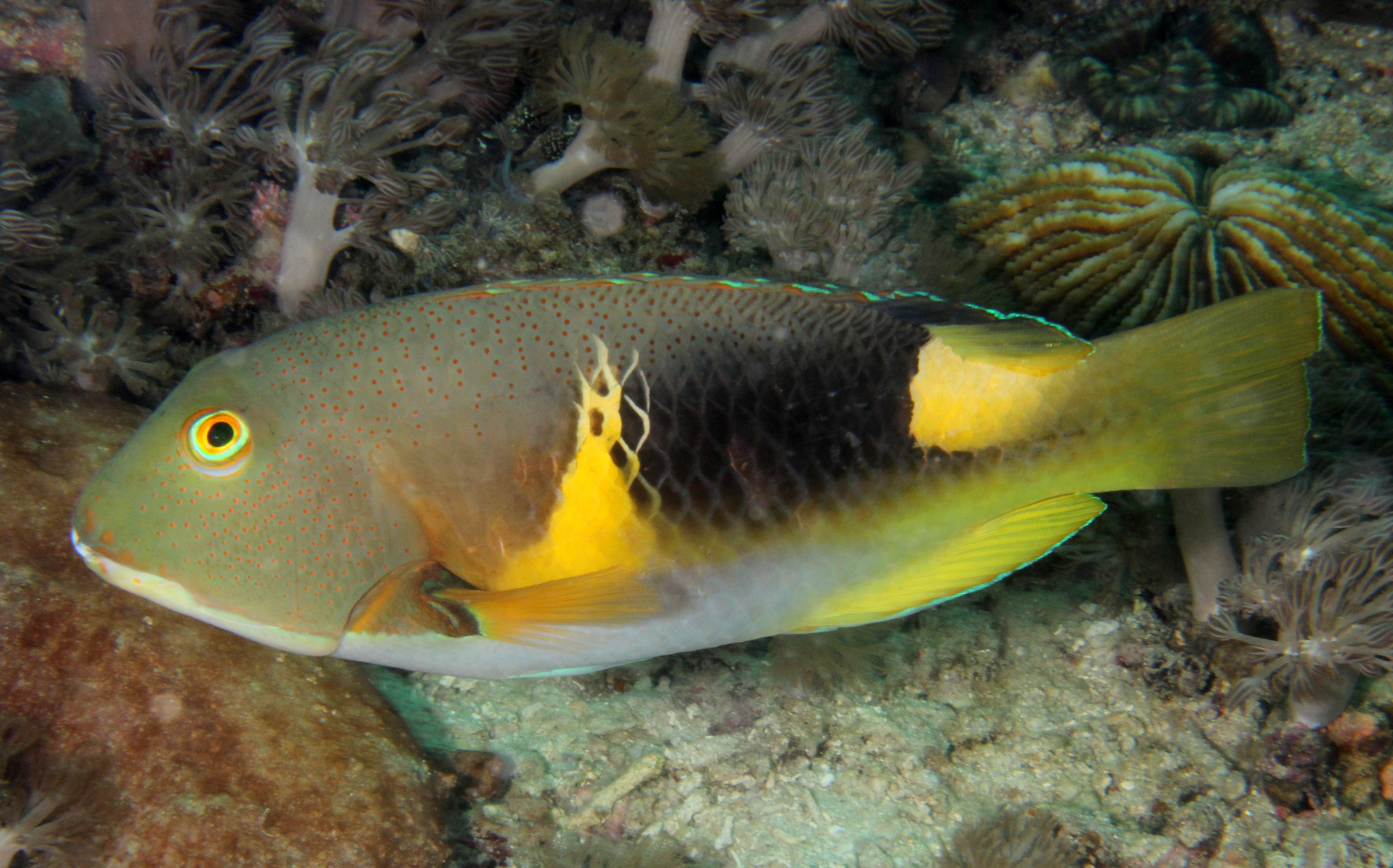 Ancor Tuskfish