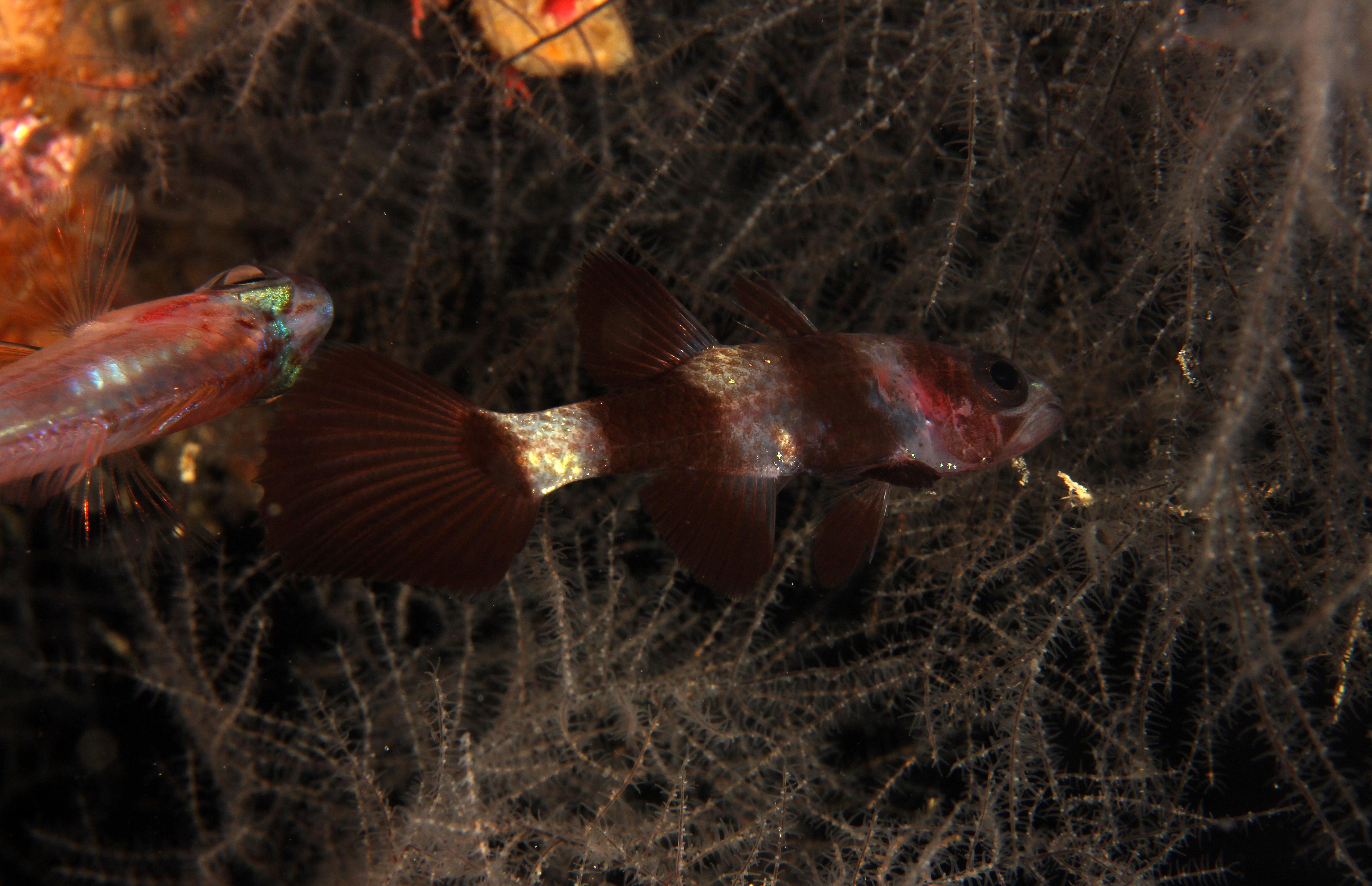 Paddlefin Cardinal Fish