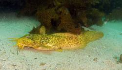 Estuary Catfish