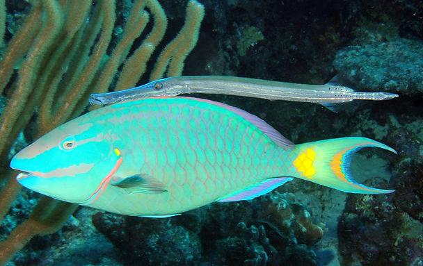 02 Ein Papageienfisch wird von einem Tro