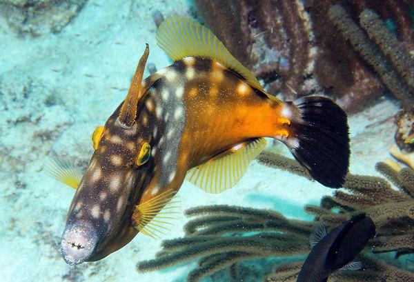 06 Ein Weissfleckenfeilenfisch stellt si