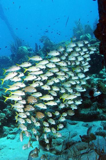21 Ein Schwarm Ziegenfische steht still
