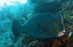 Bumphead Parotfish