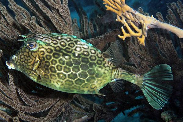 Honigwaben Kofferfisch