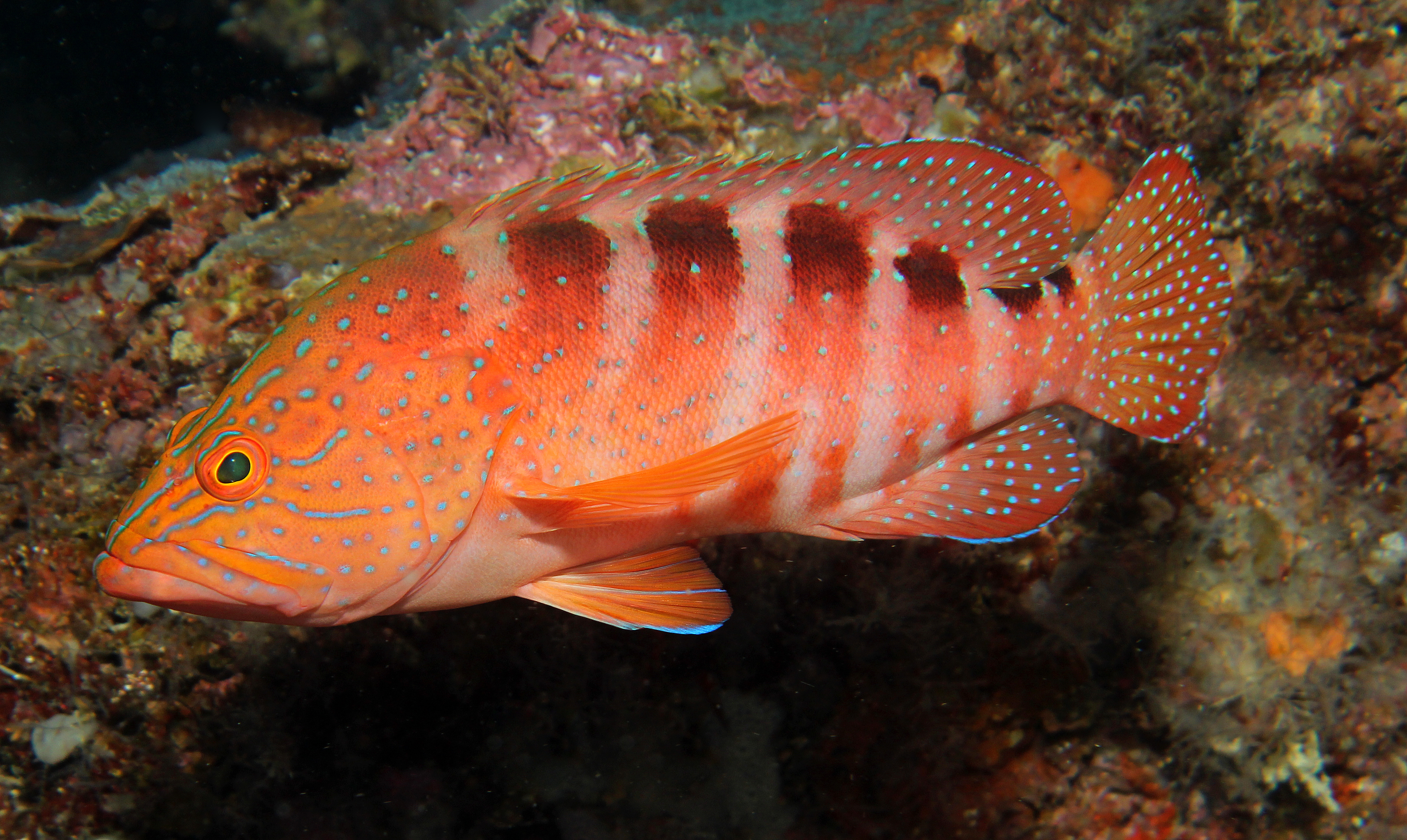 Saddle Grouper