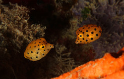 Yellow Boxfish Juvenile