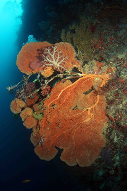 Softcorals on gorgonian fan