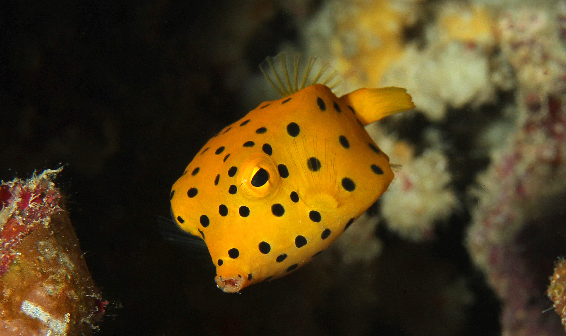 Yellow Boxfish Juvenile