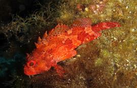 Scorpaena notata. Small red scorpionfish, Klei. Rot. Drachenkopf.