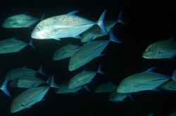 Bluefin Trevely