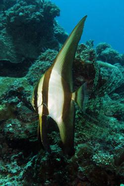 Longfind Spadefish Juvenile