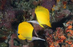 Longnose Butterflyfish