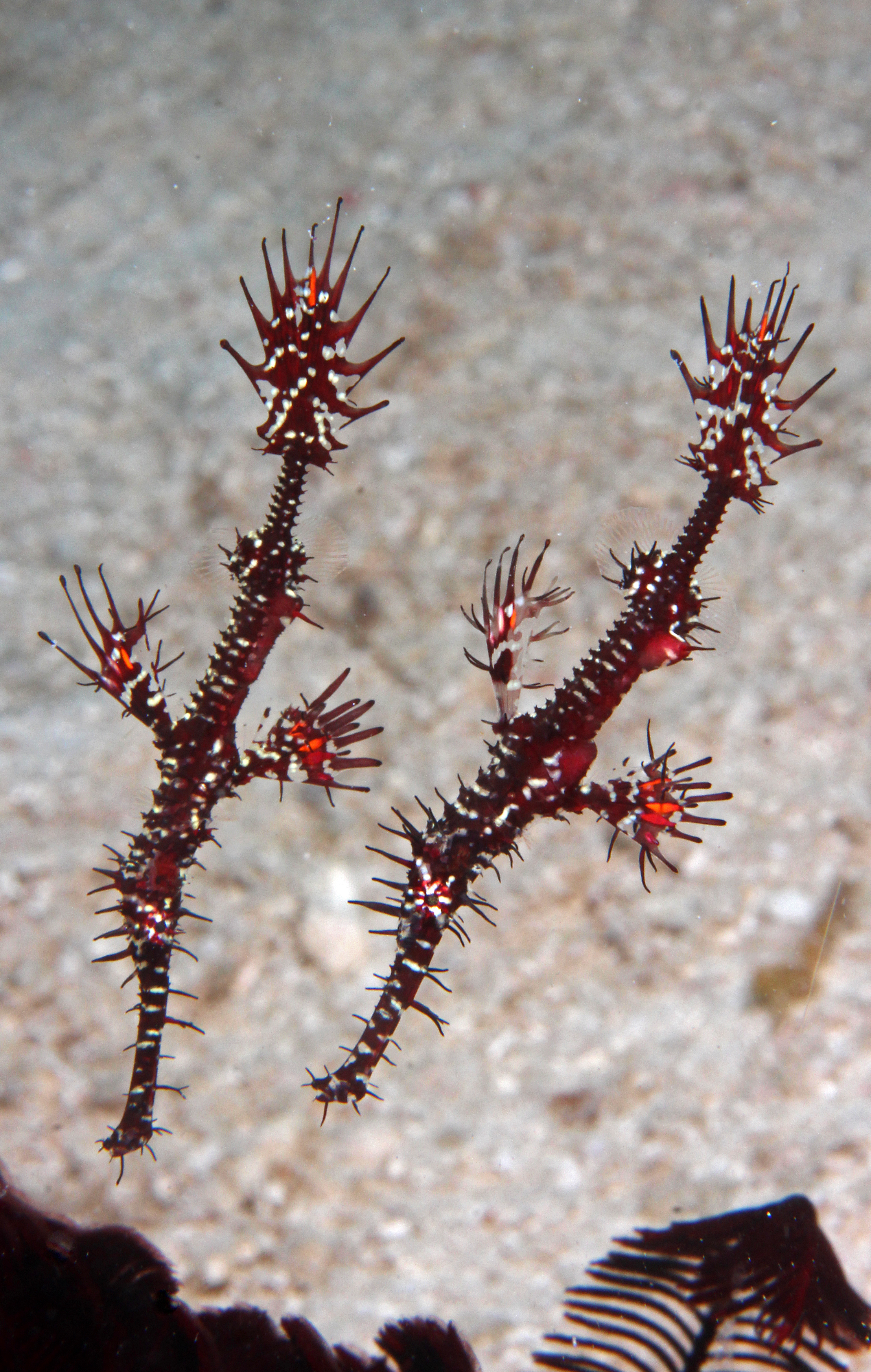 Juvenile Ornate Ghost Pipefishes