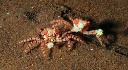 Mosaic Boxer Crab