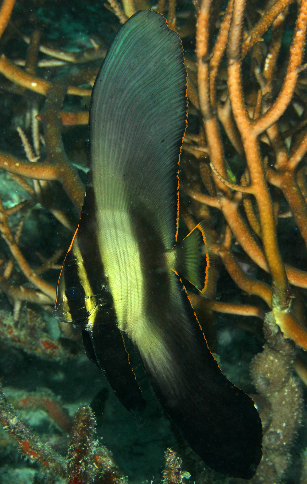 Large Juvenile Pinnate Batfis