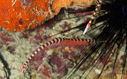 Ringed Pipefish