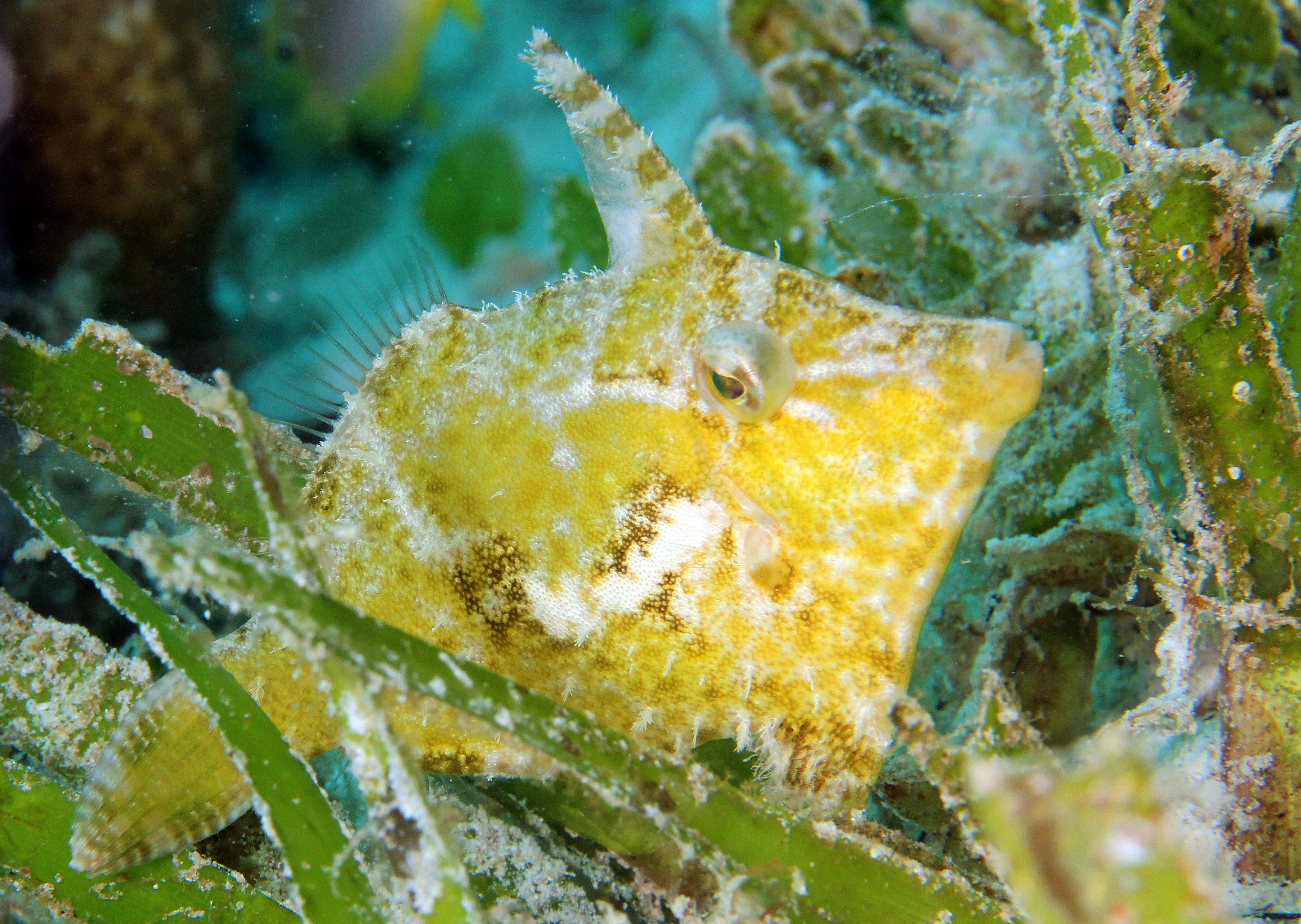 Bristle Tailed Filefish