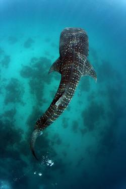 Wahle Shark