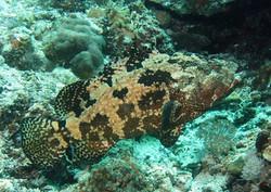Blacksaddle Grouper