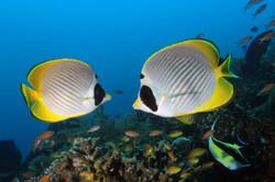 Panda Butterflyfish