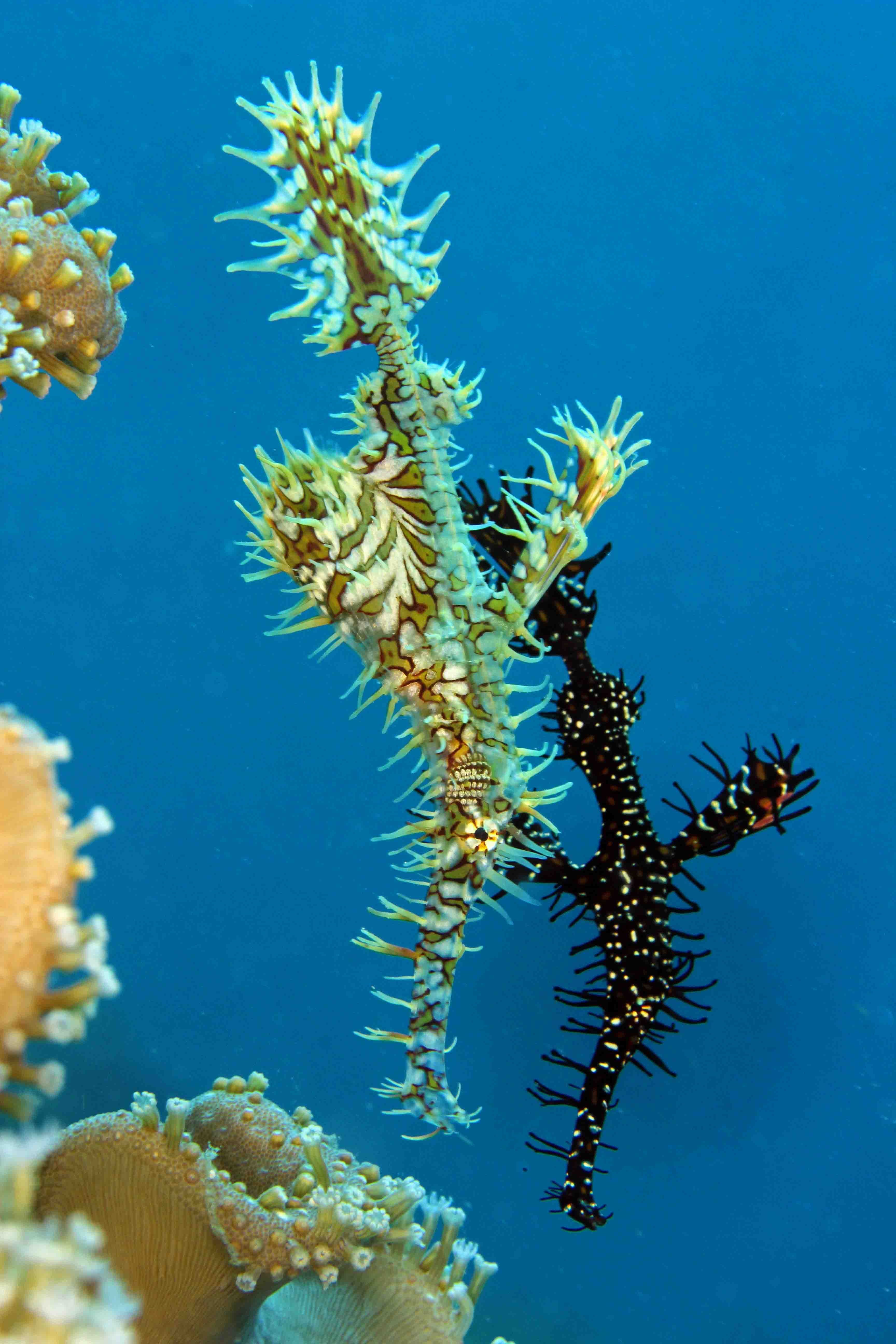 Ornate Gohst Pipefish