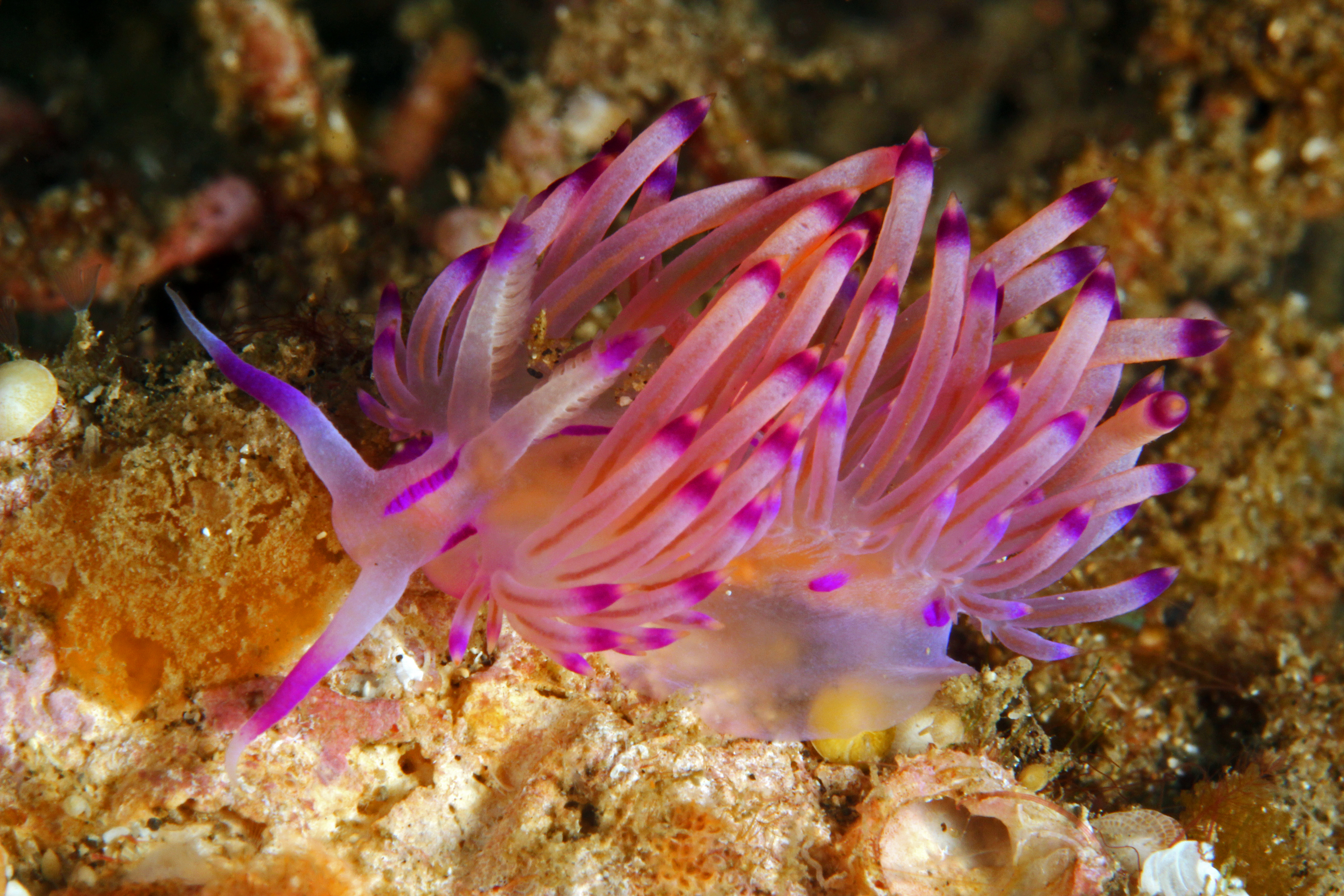 Orang Tipped Flabellina