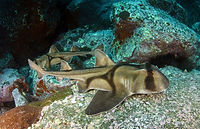 11 Port Jacksen Haie sind vor allem im W