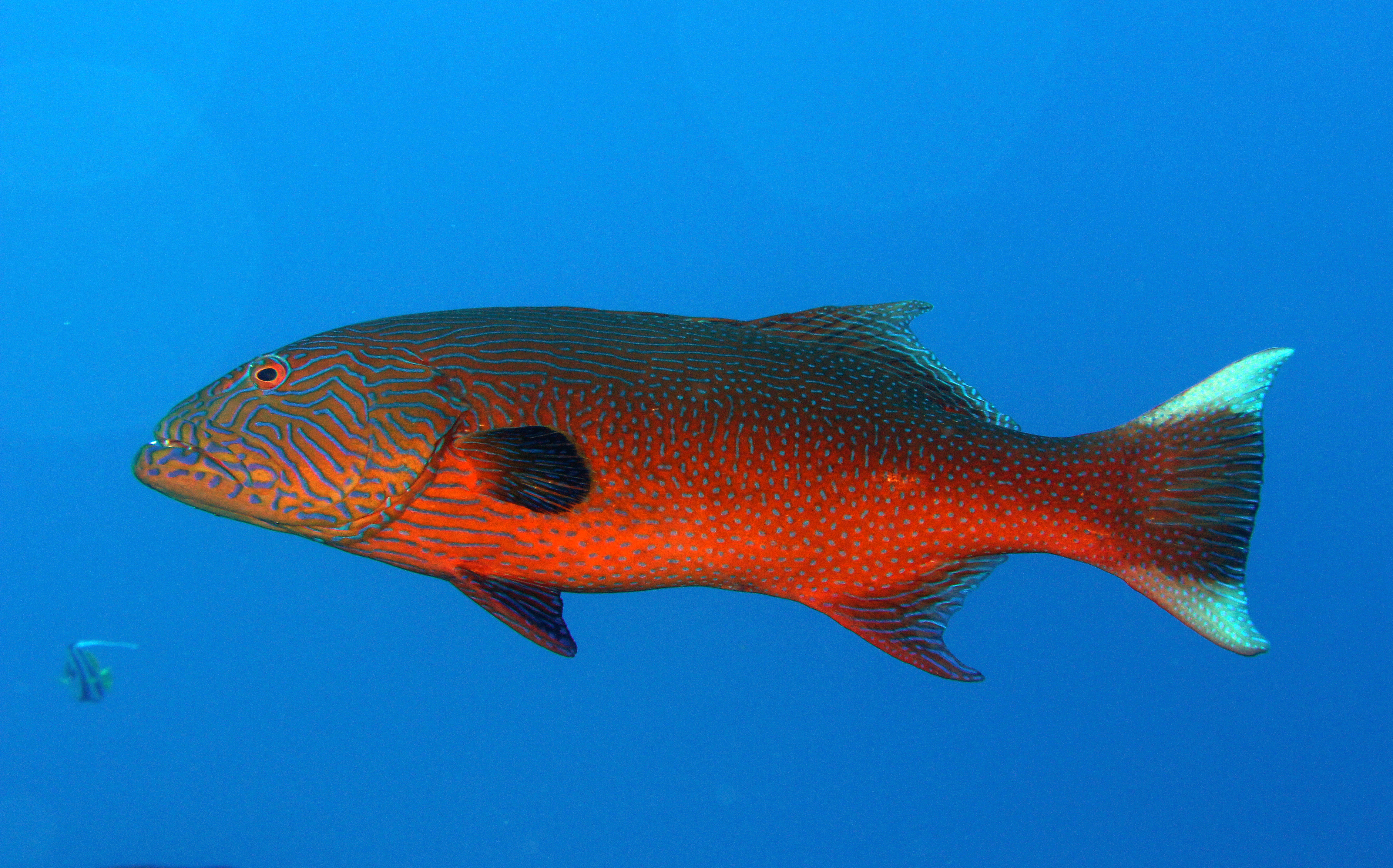 Highfin Coral Grouper