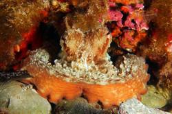 European Octopus