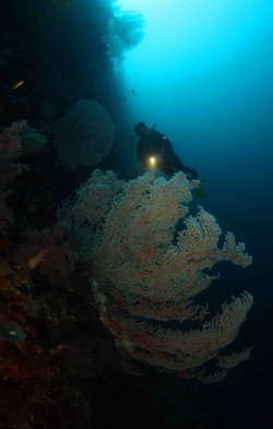 Diver and gorgonia fan