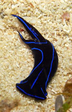 Blue Velvet Headshield Slug