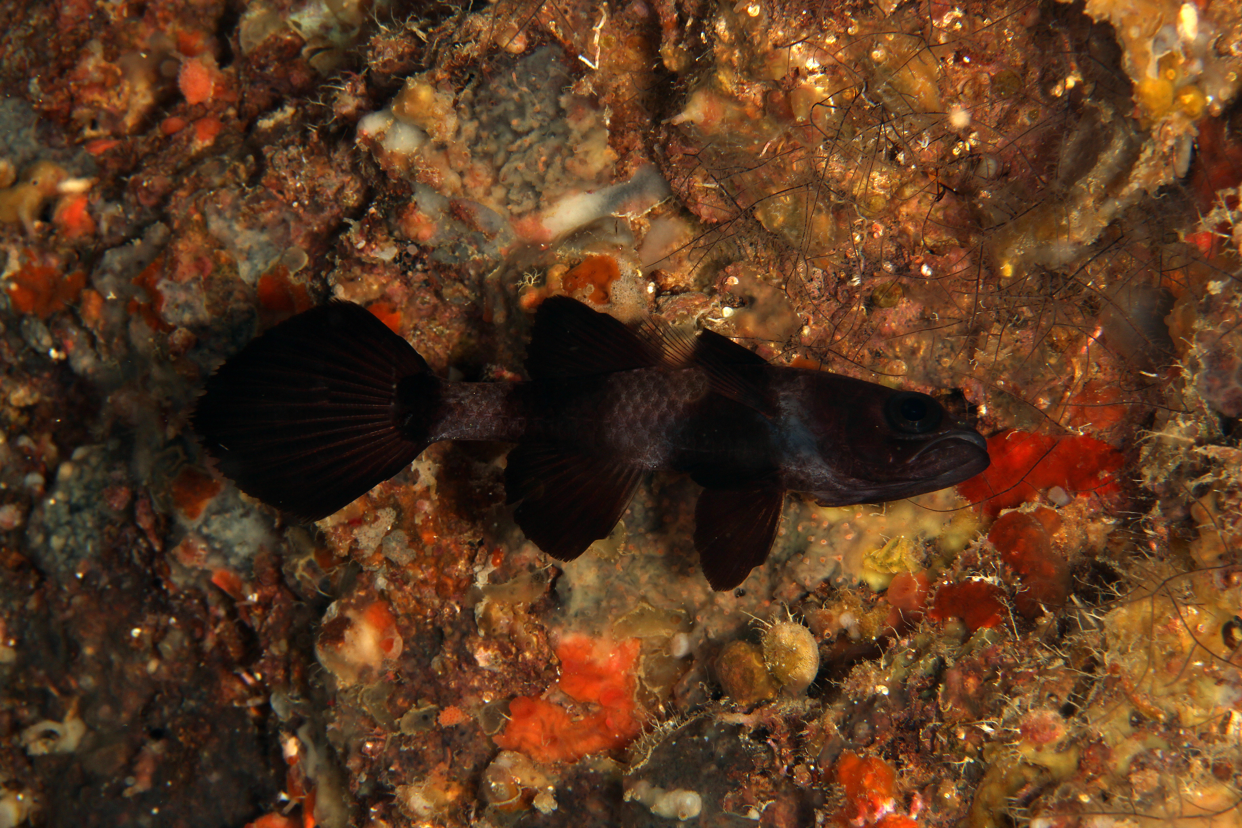 Paddlefin Cardinal Fish