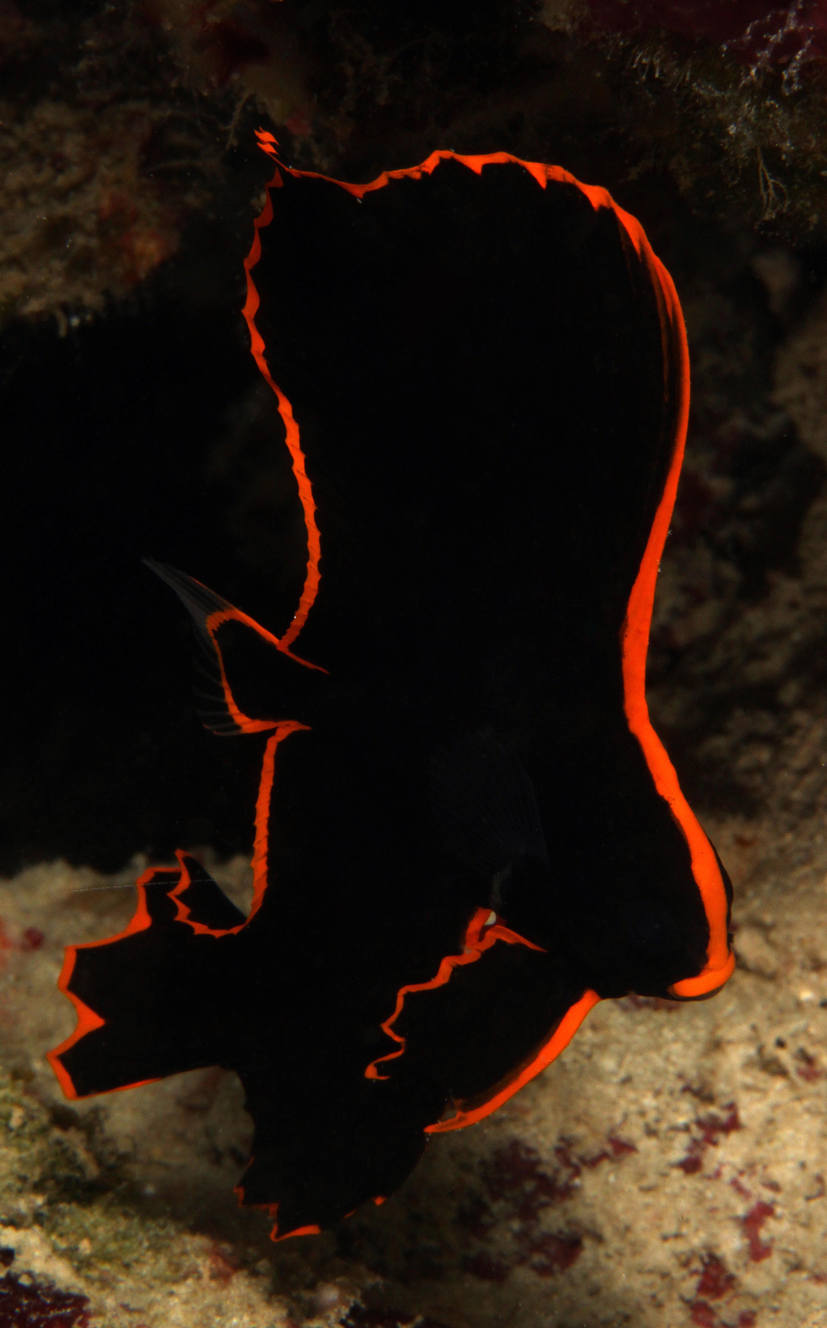 Pinnate Spadefish small juvenile