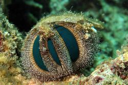 Globe Urchin