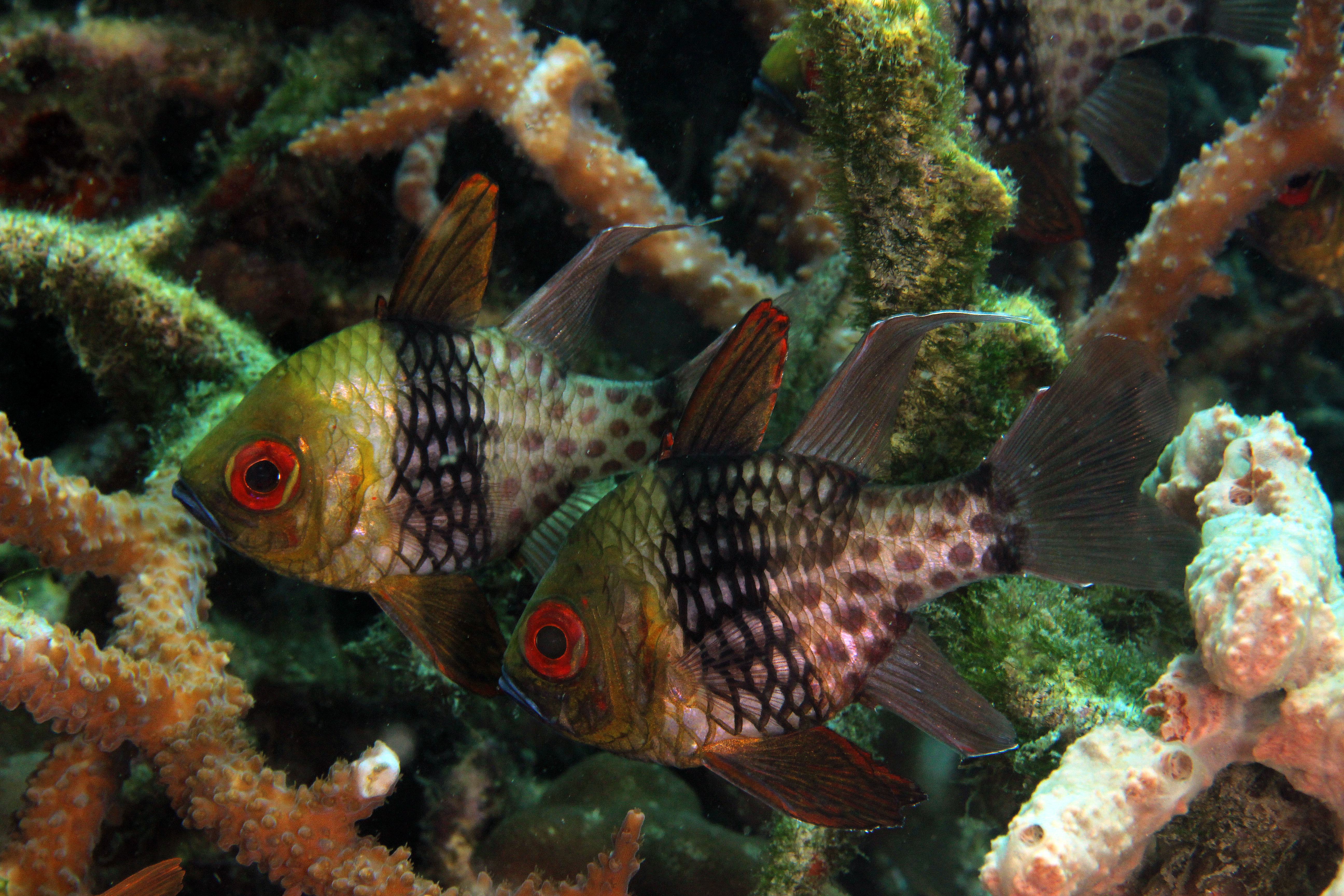 Pyiama Cardinalfish
