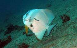 Circular Spadefish old
