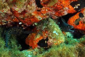 Muraena helena. Mediterranean moray, Mittelmeermuräne.
