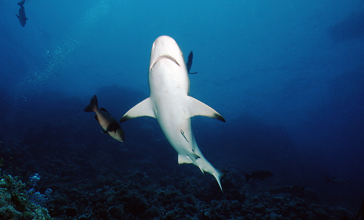 Grey Reefshark