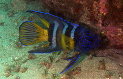 Blue Devilfish