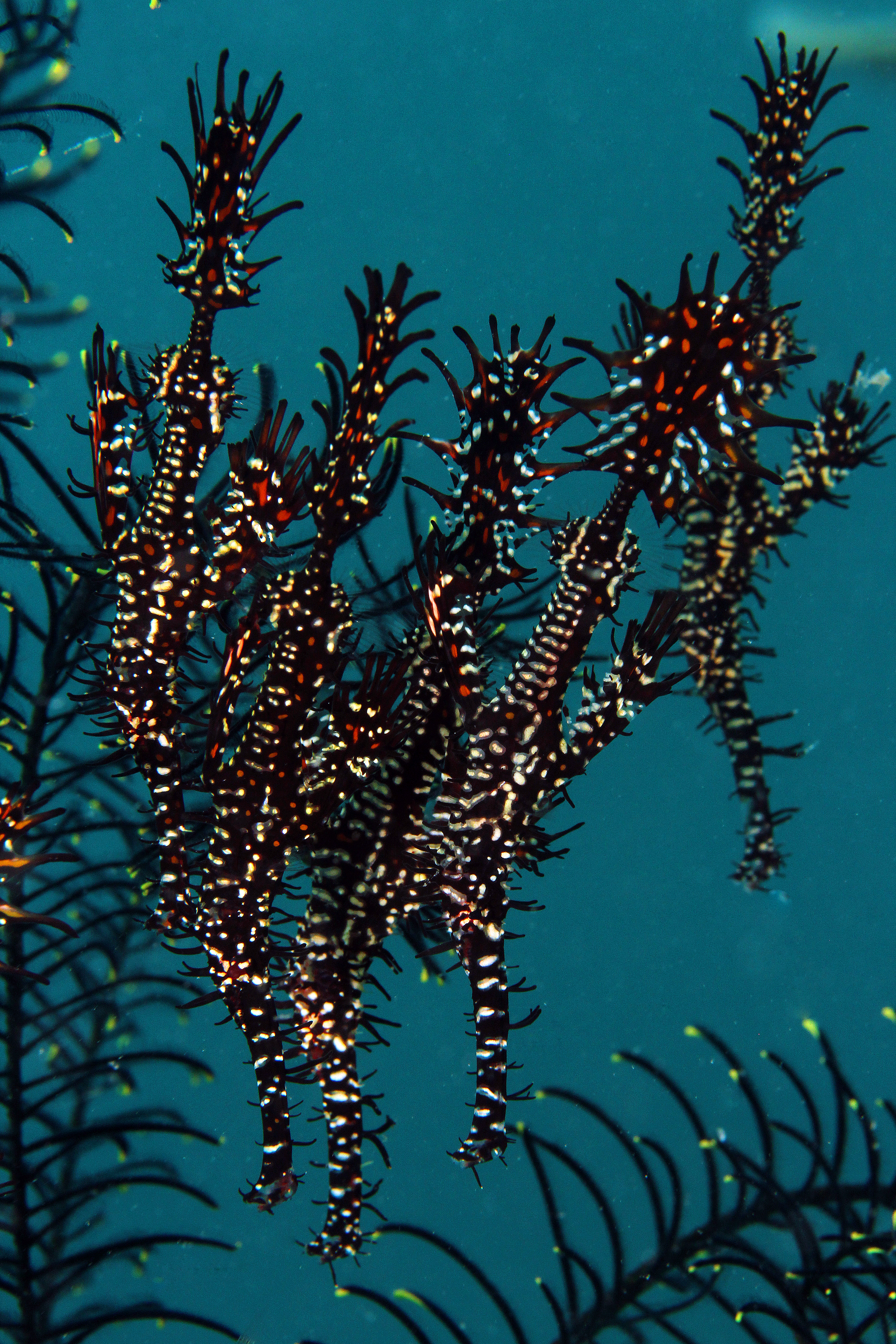 Ornate Gosth Pipefish