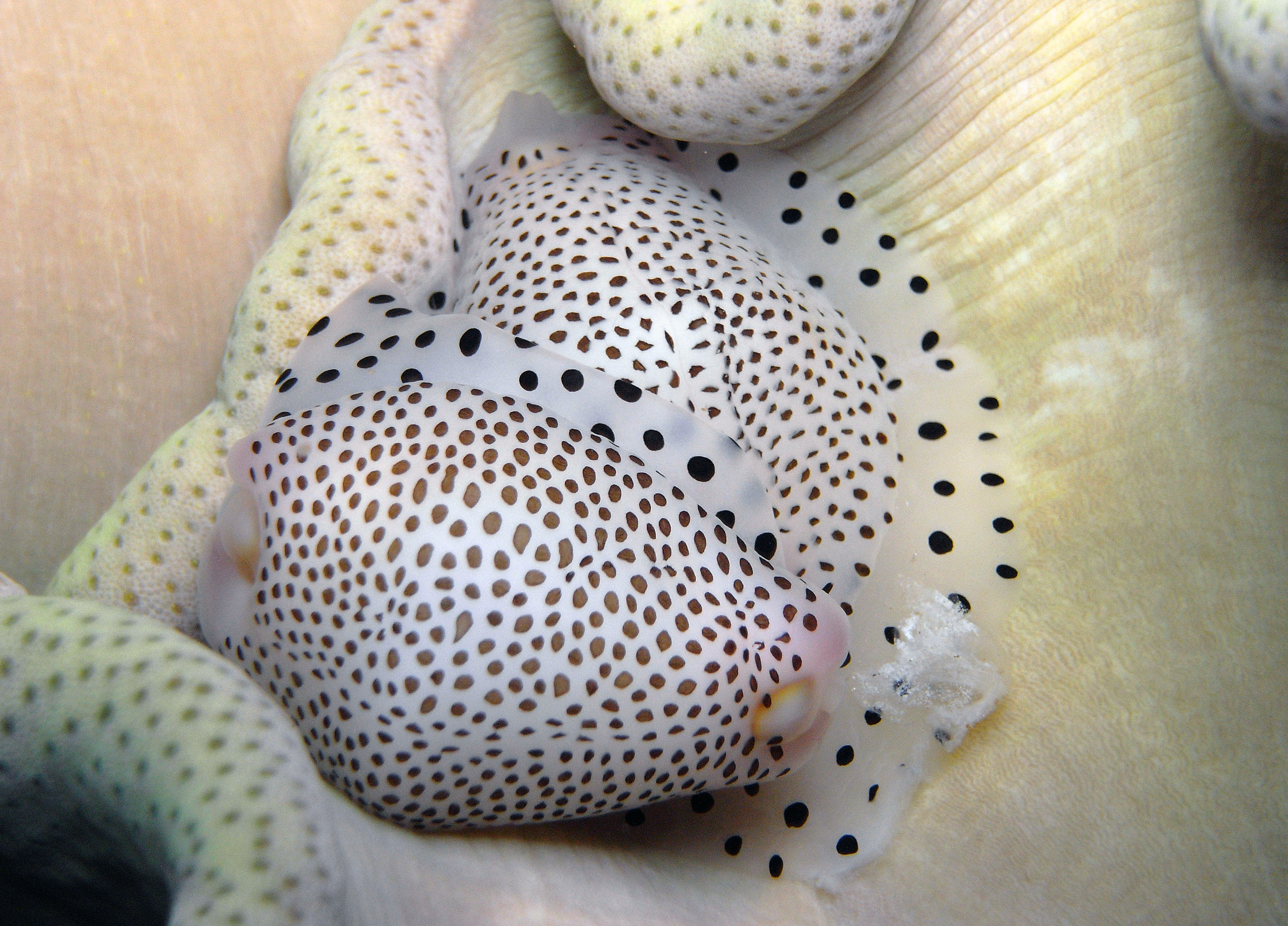 Black-Spotted Egg Cowrie