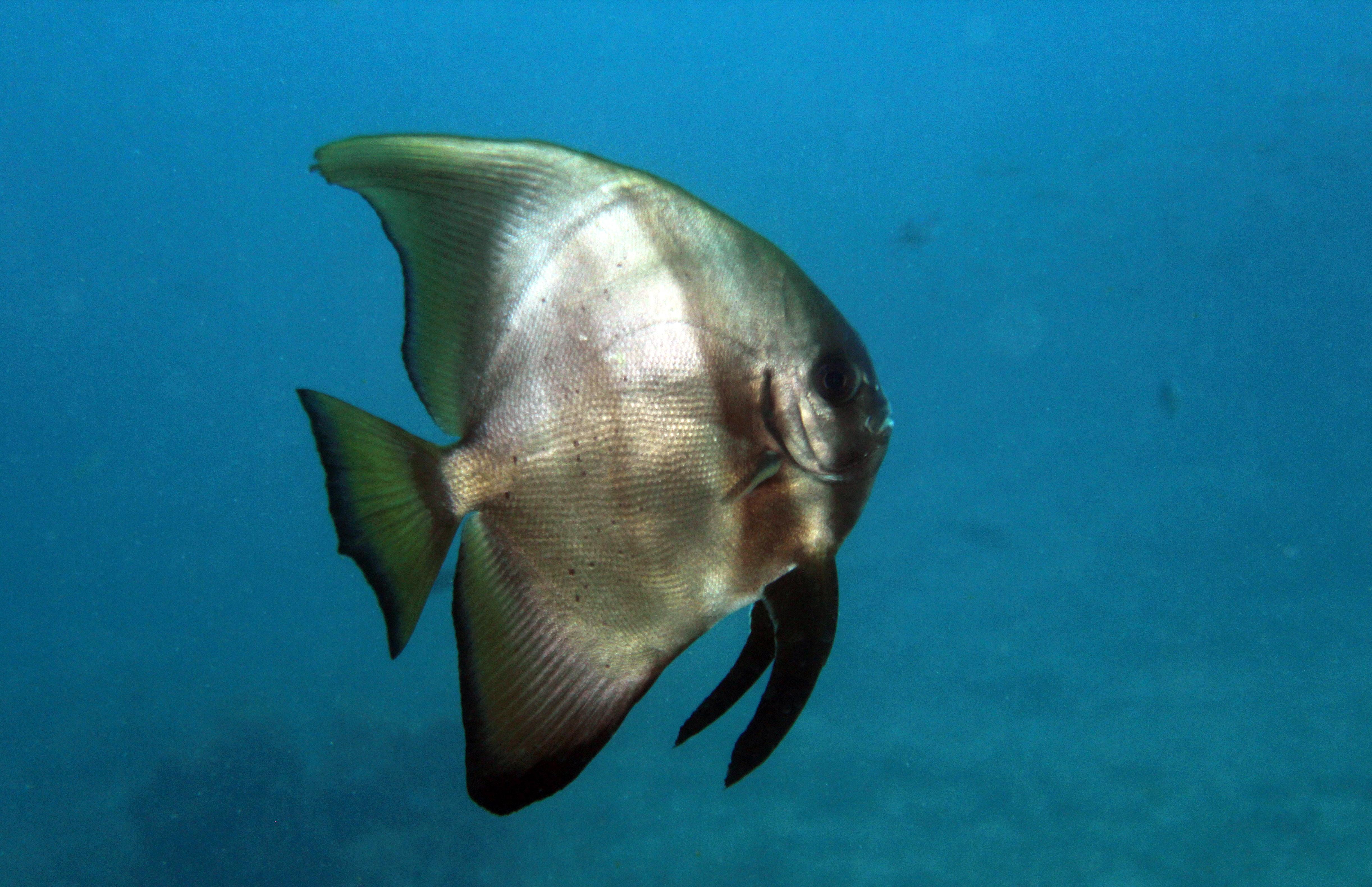 Circular Spadefish young adult
