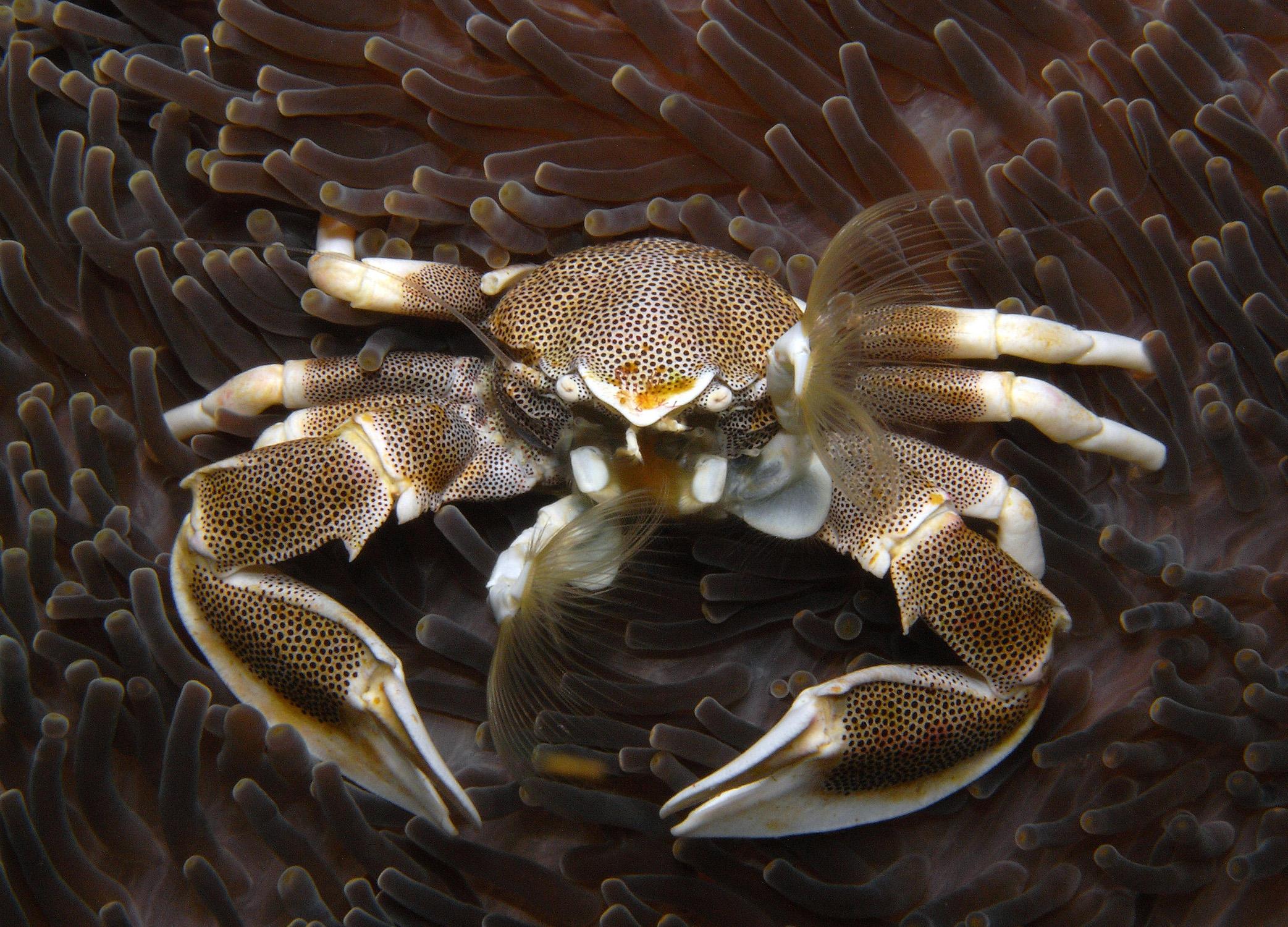 SpottedPorcelain Crab