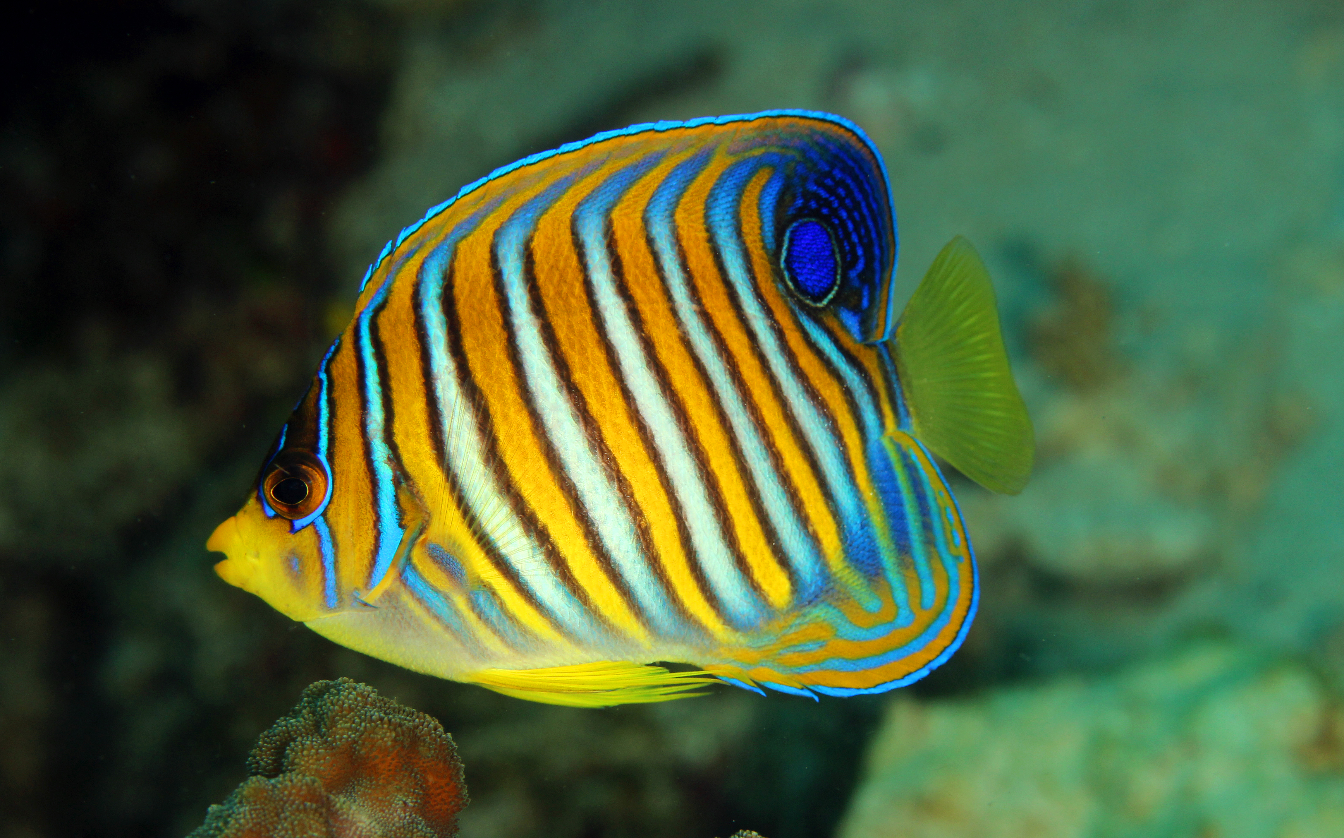 Juvenile Regal Angelfish